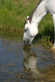 Drinking Horse. Dapple gray horse drinking from pond, reflection in water, green reeds on shore Royalty Free Stock Image