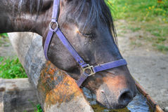 Drinking Horse in the Dolomites, Italy Stock Photo