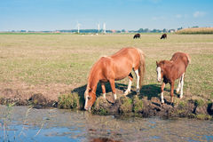 Drinking horse with her foal. In the wide meadows of the Netherlands royalty free stock photos
