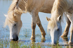 Drinking horses. Detail of two horses drinking water Royalty Free Stock Photography
