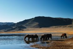 Drinking horses. In mongolian wilderness Royalty Free Stock Image