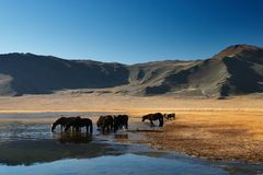 Drinking horses. Mountain lake in mongolian wilderness Stock Photo