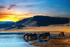Drinking horses. Colorful sunrise in mongolian wilderness