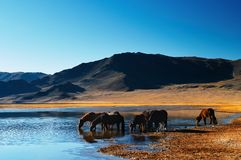 Drinking horses. In mongolian wilderness stock photography