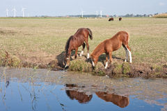 Drinking horses in the dutch pastures. Drinking couple of horses in the dutch pastures royalty free stock photos