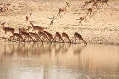 Drinking Impala Royalty Free Stock Photo