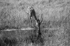 Drinking Impala, black and white photo. Impala drinks water at water hole Royalty Free Stock Image