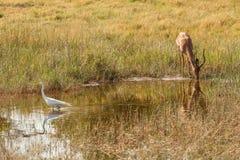 Drinking Impala in reserve of Botswana. Impala drinks at water hole in reserve of Botswana, South Africa Stock Images
