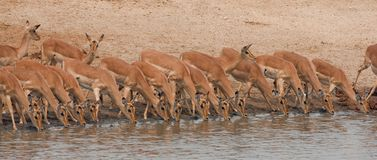 Drinking impalas standing at a waterhole. Stock Image