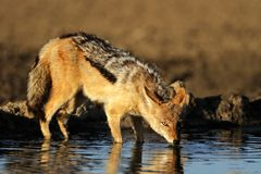 Drinking Jackal Royalty Free Stock Photo