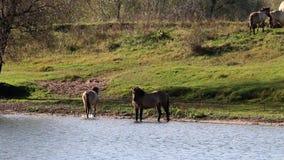 Drinking Konik horse, Bisonbaai, Netherlands stock footage