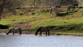 Drinking Konik horses, Bisonbaai, Netherlands. Along the Bisonbaai, in the Ooijpolder close to Nijmegen there are grazing areas for cattle (Koniks Horses and stock video
