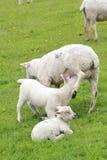 Drinking lamb Royalty Free Stock Photo