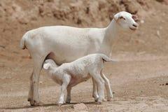Drinking lamb. A sheep lamb drinking form its mother Royalty Free Stock Image