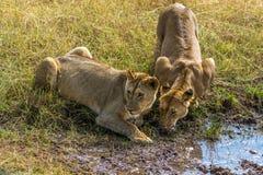 Drinking Lion Stock Photos