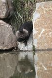 Drinking lion-tailed Macaque Stock Image
