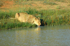 Drinking lioness Royalty Free Stock Photos