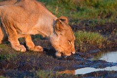 Drinking lioness at at a waterhole. royalty free stock image