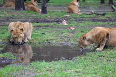 Drinking lions Royalty Free Stock Photography