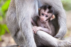 Drinking at mom. Cute little baby monkey drinking from mom Royalty Free Stock Photos