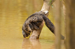 Drinking Monk Saki. A Monk Saki (Pithecia monachus) drinks water in a flooded area of the amazon river, this species newer comes down to the forest floor royalty free stock photography