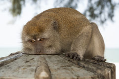 Drinking monkey. Portrait of very serious drinking monkey royalty free stock images