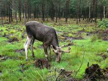 Drinking moose. A male european elk drinking water from a swamp Stock Photo