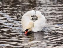 Drinking Mute Swan Royalty Free Stock Photo