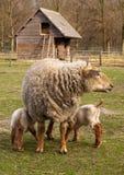 Drinking Newborn Lambs Royalty Free Stock Photos