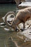 Drinking Nubian Ibex. Ibex drinking from a stream Stock Photos
