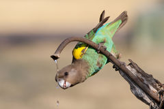 Drinking parrot. A drinking Meyer's Parrot Royalty Free Stock Images