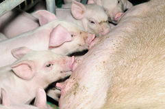 Drinking Piglets Stock Photos