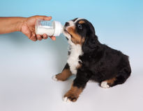 Drinking puppy Royalty Free Stock Photo