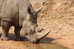 Drinking rain water. Rhino drinking rainwater in a spring day Stock Photos