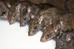Drinking Rats Stock Photo
