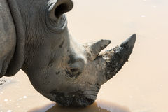 Drinking Rhino Stock Photography