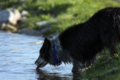 Drinking From River. A wet dog drinking from the river after an afternoon swim Stock Image