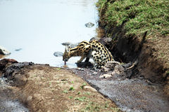 Drinking serval Royalty Free Stock Photos