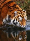 Drinking Siberian Tiger Stock Photos