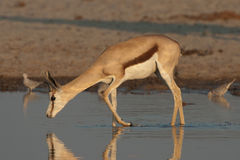 Drinking springbok. Widespread in lower rainfall regions of South Africa and Namibia; both sexes horned; dark-brown band separating upper brownish back and Royalty Free Stock Images