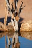 Drinking springbok antelope royalty free stock images