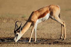 Drinking springbok antelope Stock Photography
