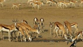 Drinking springbok antelopes stock video