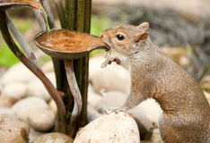 Drinking squirrel Stock Image