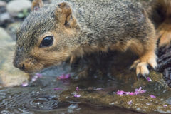 Drinking Squirrel Royalty Free Stock Photos