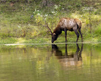 Drinking stag. An elk stag drinking at the edge of lake Stock Photos