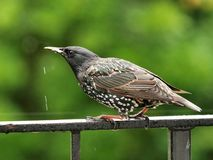 Drinking Starling royalty free stock photos