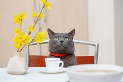 Drinking tea together with adorable grey cat. Tea time with lovely grey domestic cat royalty free stock image