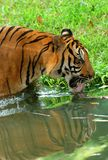 Drinking tiger. In a zoo stock photo