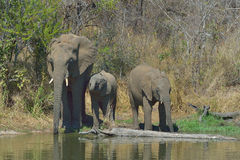 Drinking time. Elephant family drinking at Lake Panic, Kruger National Park Royalty Free Stock Image
